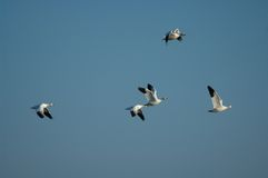 Snow geese. Snow goose (Chen caerulescens ) at Merced Natiional Wildlife Refuge, Los Banos, CA Royalty Free Stock Images