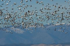 Snow Geese. Snow goose (Chen caerulescens ) at Sacramento National Wildlife Refuge, Willows, California Stock Photo
