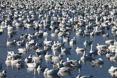 Snow geese Stock Photography