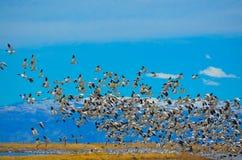 Snow Geese. At Honey lake california Royalty Free Stock Image