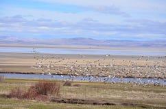 Snow Geese. At Honey lake california Royalty Free Stock Photos