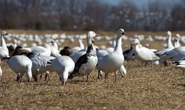 Snow Geese Stock Images
