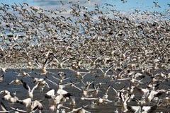 Free Snow Geese Stock Image - 29945891
