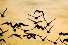 Snow geese. Flock of snow geese taking off Stock Photography