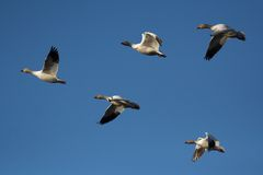 Snow geese. Flock of snow geese flying (Blue sky Stock Image
