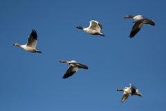 Snow geese Stock Image