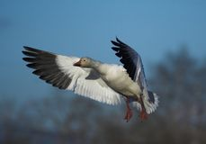 Snow Geese. Flying Royalty Free Stock Photos