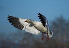 Free Snow Geese Royalty Free Stock Photos - 587068