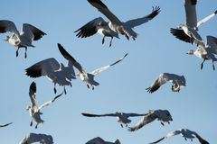 Snow Geese. Flock of snow geese flying away Royalty Free Stock Image