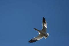 Snow Geese. Lone snow geese flying Royalty Free Stock Images