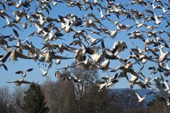 Snow geese. Flock of snow geese taking off Royalty Free Stock Photo