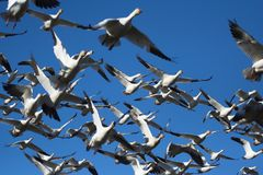 Snow Geese. Flock of snow geese flying Royalty Free Stock Image