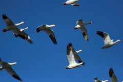 Snow Geese. Flock of snow geese flying Royalty Free Stock Photography