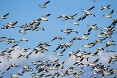 Snow Geese. Flock of snoww geese flying Royalty Free Stock Images