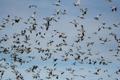 Snow geese. Flocks of snow geese flying Royalty Free Stock Photography