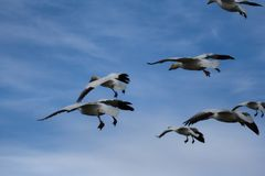 Snow geese. Flock of snow geese in a landing position Royalty Free Stock Photos