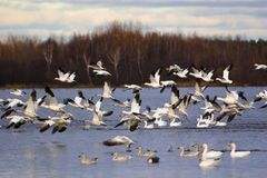 Snow Geese. Migration Snow Geese in Victoriaville near Montreal Stock Photography