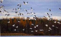 Snow Geese Stock Photos