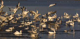 Snow Geese. Migration Snow Geese in Victoriaville near Montreal Royalty Free Stock Images