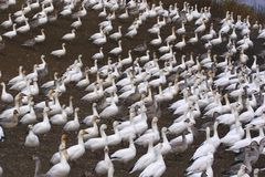 Snow Geese. Migration Snow Geese in Victoriaville near Montreal Stock Photos