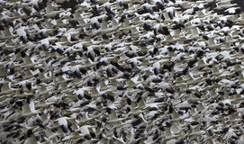 Snow Geese Abstract Thousands Flying Stock Photography