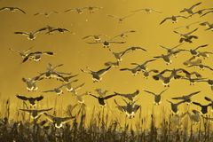 Snow geese. Backlit group of snow geese landing in corn field royalty free stock images