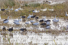 Snow Geese in a Bayou Wetland Stock Photos