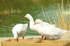 Snow geese bird feeding Royalty Free Stock Photos