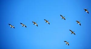 Snow geese in blue sky