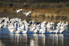 Snow Geese, Chen caerulescens Royalty Free Stock Photos