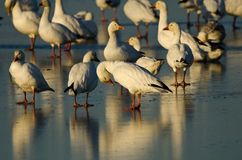 Snow geese (Chen caerulescens) Royalty Free Stock Images