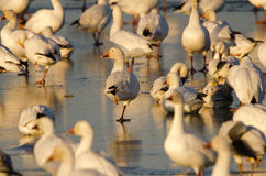 Snow geese (Chen caerulescens) Stock Photos
