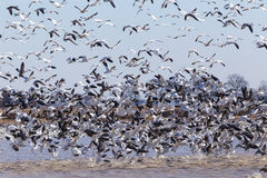 Snow Geese (Chen caerulescens) Burst from Cover Royalty Free Stock Images