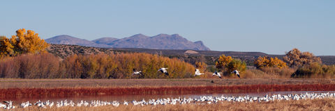 Snow Geese, Chen caerulescens Stock Images