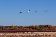 Snow Geese, Chen caerulescens Stock Photos