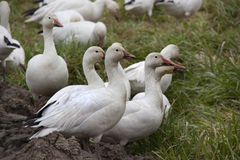 Snow Geese Close Up Looking Stock Photo