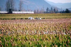 Snow Geese in a Corn Field Royalty Free Stock Image