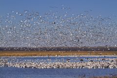 Free Snow Geese Fall Migration Stock Images - 108517914