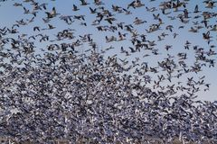 Free Snow Geese Fall Migration Stock Photography - 108517922
