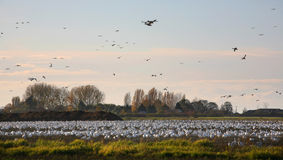 Snow geese in farm field Stock Image