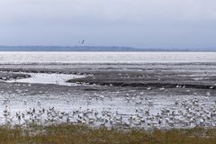 Snow geese feeding on the St. Lawrence shore royalty free stock photos