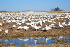 Snow Geese Feeding stock image