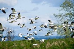 Snow Geese in Flight Royalty Free Stock Photo