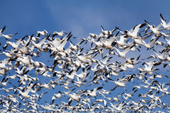 Snow Geese in Flight stock images