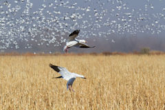 Snow Geese in Flight Royalty Free Stock Photography
