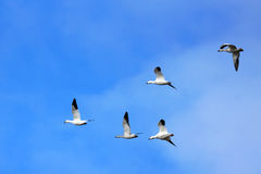Snow geese in flight Stock Photography