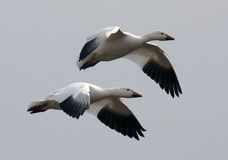 Snow Geese in Flight. A pair of migrating Snow Geese in flight royalty free stock image