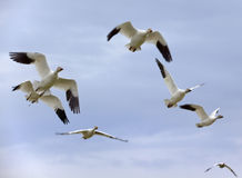 Snow Geese In Flight Close Up Royalty Free Stock Photo
