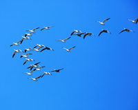 Snow geese in flight. Formation flight of Snow Geese flying near the Mississippi River at Sandy chute slough at Winfield, Missouri Stock Image
