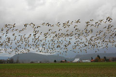 Snow geese in flight over farmland. Mt. Vernon, WA, USA Feb. 7, 2011: Snow geese Chen caerulescens gather in large numbers on Fir Island in Skagit county every Royalty Free Stock Images